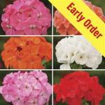 Geranium Parade Patchwork 100 Plants+ 60 FREE, £10.99 @ Jersey Plants Direct