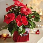 If you missed the last offer... Hibiscus 'Festive Flair' £4.99 @ Thompson & Morgan (Was £18.99) plus Cashback