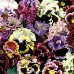Pansy Can Can 100 Plants + 60 FREE £12.99 delivered @ Jersey Plants Direct