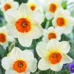 15 Red Cupped Daffodil Barrett Browning worth £7.99 for only 99p (P&P £3.99) @ J Parker  Bulbs