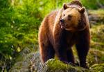 Four Night Bear Tracking Adventure in Romania - for £1150 @ buyagift