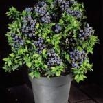 Blueberry Bush - £9.95 @ Garden Oasis
