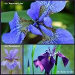 3 x Iris plant collection@.plantstoplant