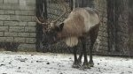 Animal Planet FREE Live Reindeer Cam
