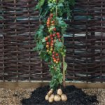 3 x 9cm TomTato potted plants + 300g Chempak® Tomato Food - £9.98 + £4.95 postage = £14.93 (usually £34.93) @ Thompson & Morgan