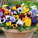 Pansy 'Matrix™ Mixed' 32 Plug plants + £5 voucher £6.99 / 72 Plug plants + £5 voucher £9.99 + Free delivery @ Thompson-morgan