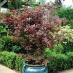 2x Japanese Acers -p&p only £5.65 @ Thompson and Morgan/Mail offers - £5 Voucher works