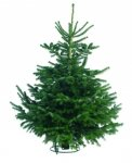 Real Christmas Trees just £1 in B&Q, Nordman Fir