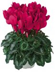 Cyclamen Xmas / spring flower in pot Reduced from £1.99 to £0.10p @ QD clearance in store