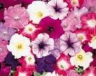 72 summer bedding plants for only £7.95 (normally £10 or £4.00 per tray of 24) B&Q