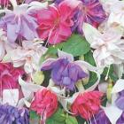 5 Giant Fuchsias for only £5 Delivered @ Thompson & Morgan