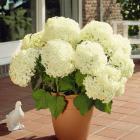Rhododendron Scarlet Wonder & Hydrangea Annabella @ J parkers - £ 4.84 del