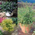 Three evergreen shrubs £2.95, 30 Free Jonquilla narcissi worth £7.95 & 10% code @ J Parkers