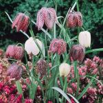 A Fritillaria Meleagris (snakehead) pack of 50 + 25 free Red tulips £5.83 ( using code GWD11) delivered @ J Parker's
