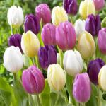60 Flag Tulip Collection bulbs + 25 Free Red Riding Hood Tulips = £10.97 delivered  (includes £5 off any >£10 order code) @ www.jparkers,co.uk