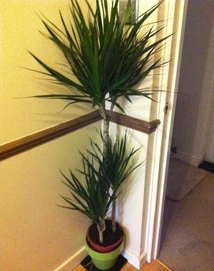 tesco large indoor plants only 10 instore hotukdeals. Black Bedroom Furniture Sets. Home Design Ideas