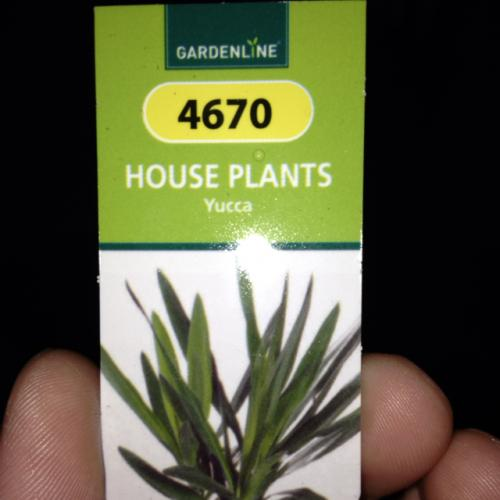 House Plant Yucca Only £1.99 @ Aldi