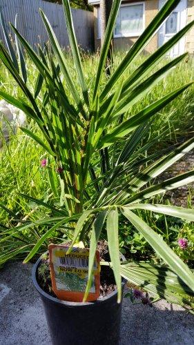 palm plants 90p tesco llansamlet hotukdeals. Black Bedroom Furniture Sets. Home Design Ideas