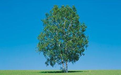 Silver Birch tree 10p @ Wilko instore.