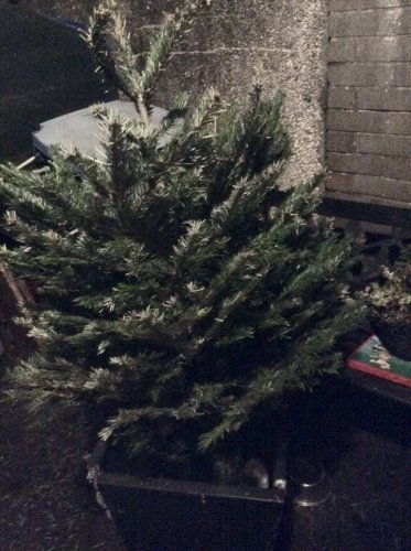asda potted christmas tree 5 instore asda omagh store. Black Bedroom Furniture Sets. Home Design Ideas